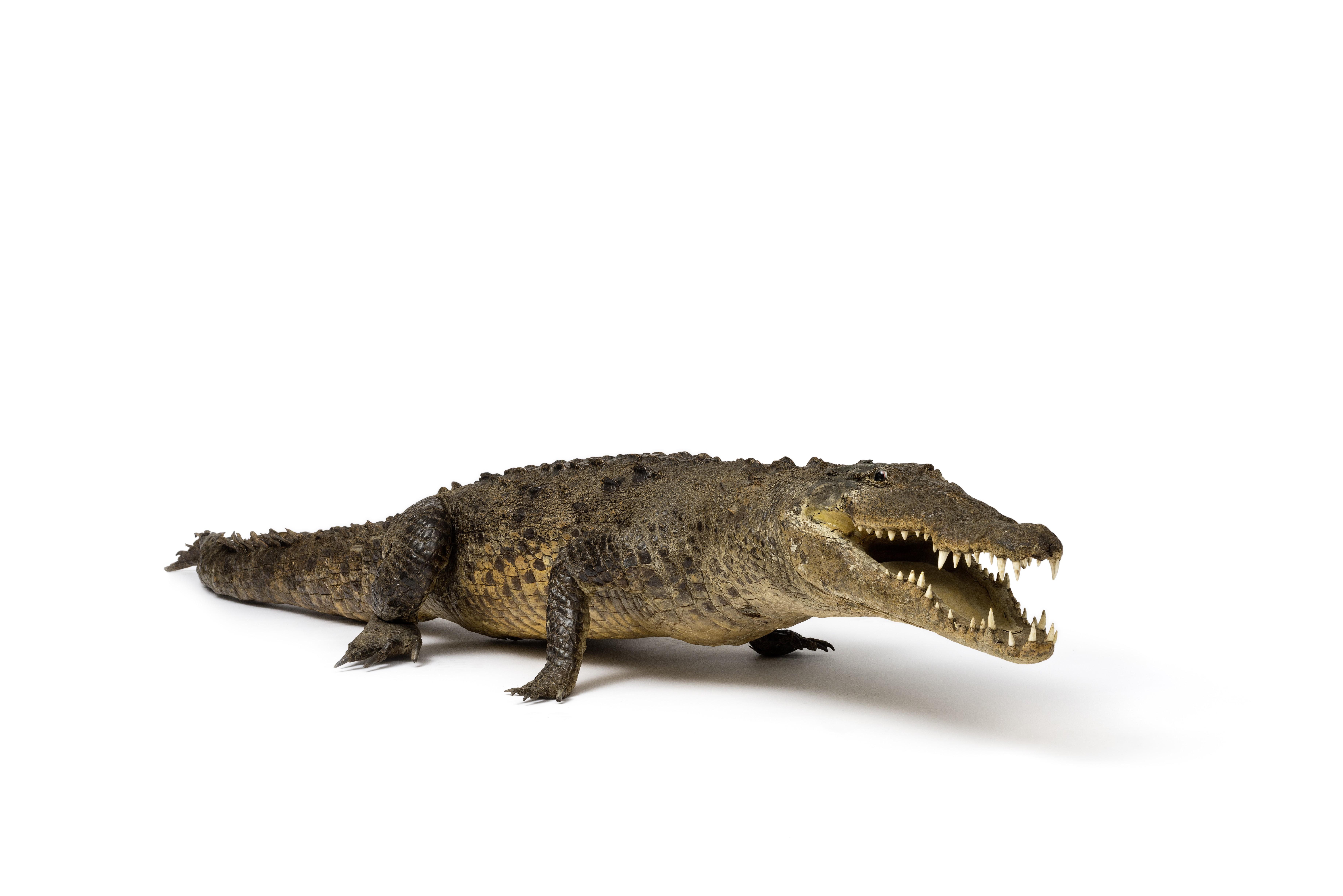 Preparation of a Cuban Crocodile, around 1970 (Potsdam Natural History Museum, photo: Ronka Oberhammer / Lorenz Kienzle, CC BY-NC-SA)